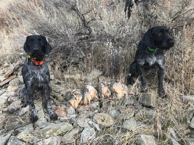 German Wirehaired Pointers Stud Service